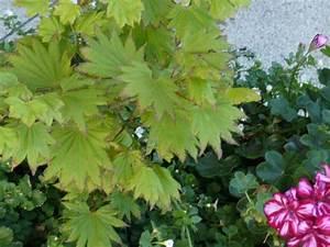 Japanischer Ahorn Standort Sonne : japanischer ahorn standort sonne japanischer ahorn burgund bei baldur garten f cherahorn ~ Eleganceandgraceweddings.com Haus und Dekorationen