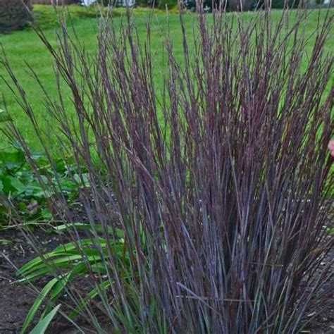what ornamental grasses are perennials schizachyrium scoparium smoke signal hardy ornamental grasses ornamental grasses avant