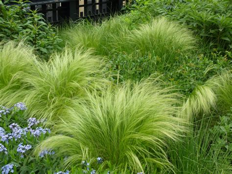 mexican feather grass plant of the week mexican feather grass the high line blog