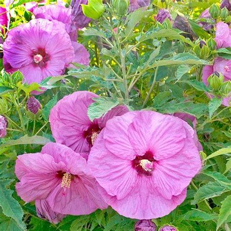 list of hardy perennial flowers gardens lavender flowers and flower on pinterest