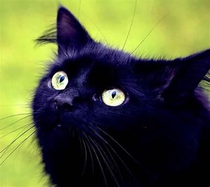 Cat Zedge Blackest Phenomenal