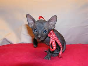 black sphynx cat black sphynx sold of sphynx