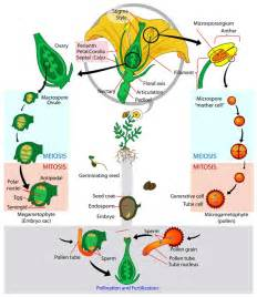 Etamine Cuisine Définition by Flower Life Cycle Diagram Pictures Photos Images Of