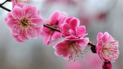 Cherry Blossom Desktop Wallpapers Pixelstalk