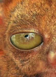 tarsier gif | Tumblr