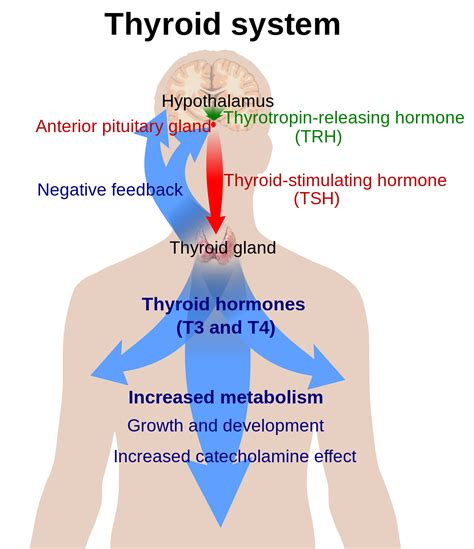 hypothalamic pituitary thyroid axis