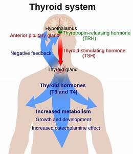 Hypothalamic U2013pituitary U2013thyroid Axis