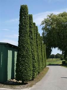 Hainbuche Baum Schneiden : pyramiden hainbuche s ulenhainbuche carpinus betulus ~ Watch28wear.com Haus und Dekorationen