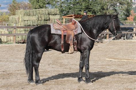 jet arsen samson aka horses andalusian bc
