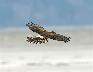 Female Northern Harrier – Wings and Feathers