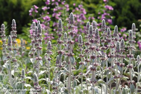 lambs ear plant lamb s ear plant picture flower pictures 6092