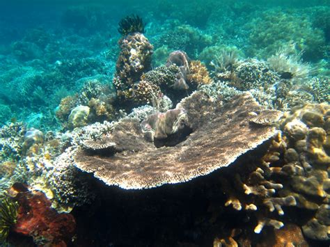 coral hard plate sulawesi north corals part