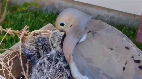 mourning dove feeding crop milk to chicks youtube
