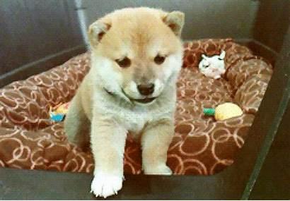 Shiba Puppy Cam Puppies Livestream Inu Sick