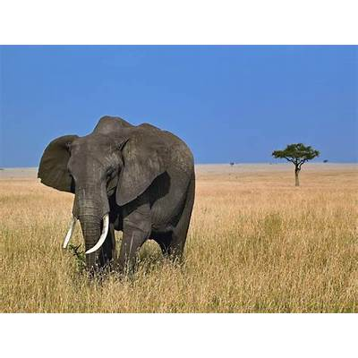 HD wallpapers & Top Quality Pictures: African Elephant