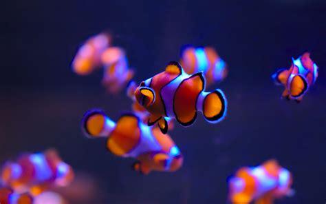 wallpaper clownfish sea life aquarium deep blue