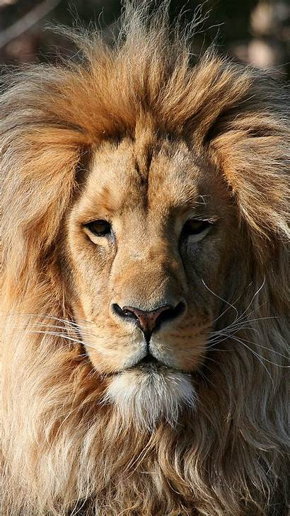 Lion Iphone 6s Wallpapers Face Backgrounds Roaring