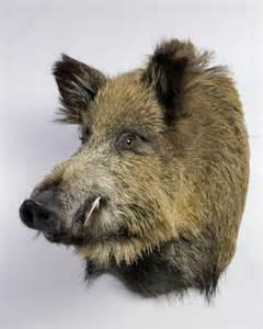 Wild Boar Head Taxidermy