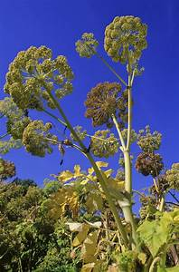 Harvesting And Pruning Angelica
