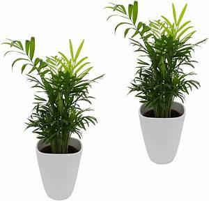 Zimmerpflanzen Auf Rechnung : zimmerpflanze palmen set h he 30 cm 2 pflanzen in dekot pfen online kaufen otto ~ Themetempest.com Abrechnung