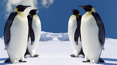 emperor penguins wallpaper penguins animals wallpapers