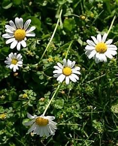Unkraut Weiße Blüte : unkraut im rasen bek mpfen oder sich daran erfreuen ~ Lizthompson.info Haus und Dekorationen