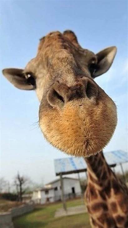 Funny Animals Wallpapers Giraffe Resolution Animal Iphone