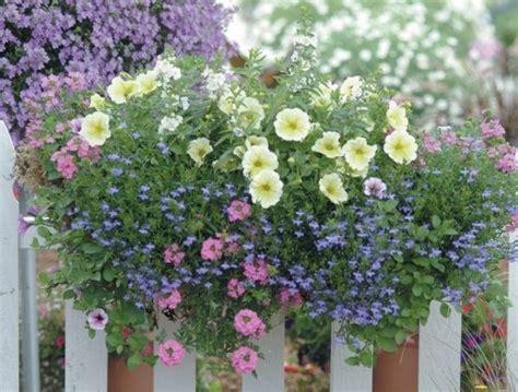 menanam bunga lobelia   pot bibitbungacom