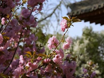 Cherry Blossoms China Places Temple Spring Xian