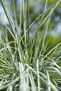 33 best images about Festuca glauca 'Intense Blue'® on ...