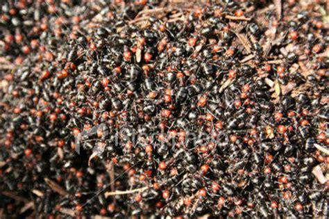 rid  ants    kill  ant invasion
