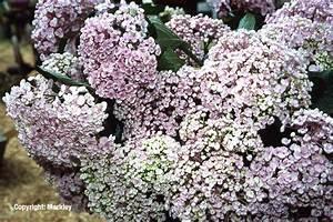 Hortensie Als Zimmerpflanze : gehlhaar gartenbaumschule hannover pflanzen ~ Lizthompson.info Haus und Dekorationen