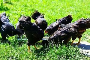 Chemin Des Poulaillers : poule tous nos conseils ~ Melissatoandfro.com Idées de Décoration