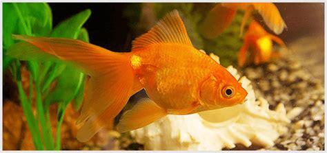 types  goldfish  description  picture