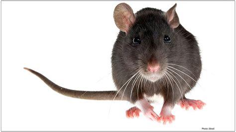 rodent fertility control