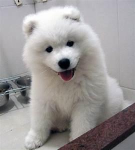 samoyed puppy on Tumblr