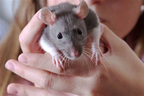 gray and black bathroom ideas rat cage pet rat cages build a rat cage
