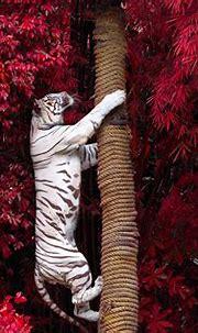White Tiger Climbing Tree, HD Animals, 4k Wallpapers ...
