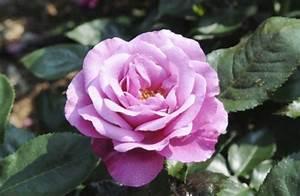 Rosenrost Was Tun : dunkle flecken auf rosenbl ttern krankheiten im ~ Lizthompson.info Haus und Dekorationen