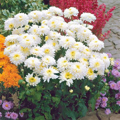 Garten Chrysantheme Kaufen by Garten Chrysanthemen Gerrie Hoek Kaufen Bei