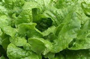 Iceberg Lettuce Plant