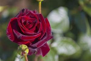 Images Of Most Beautiful Roses In The World - Best Flowers ...