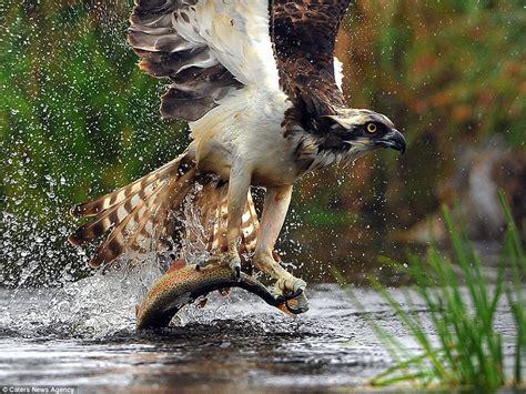 osprey swoops     river  catch  prey  set