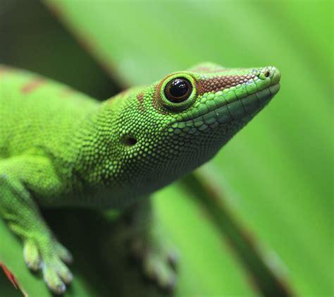 madagascar gecko aquarium zone fish