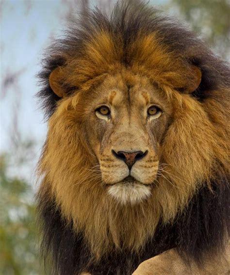 lion zoo animals diego san african hero open