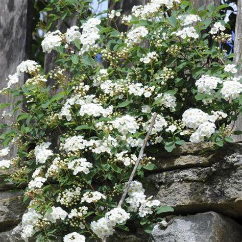 arbuste a fleur quels arbustes fleurissent en mars