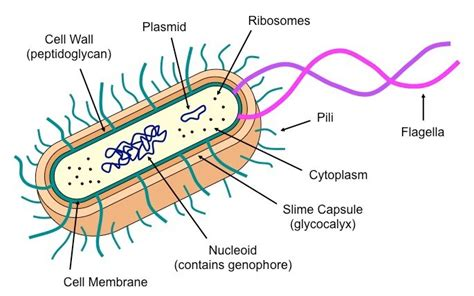 Prokaryotic Eukaryotic Cell Difference Comparison