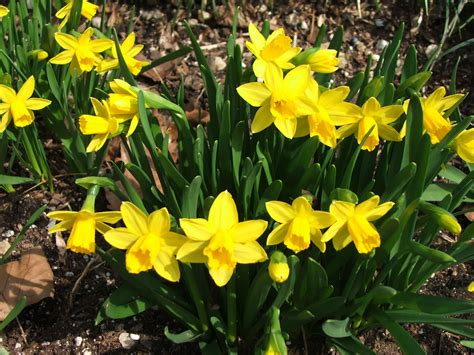 when to plant daffodil bulbs in southern california
