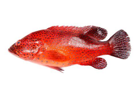 grouper fish mero garoupa cernia rojo rossi pesci dell peixes rossa pescados rojos 1kg tandbaars vermelhos barsch fische rote achtergrond