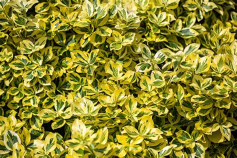 types of shrubs types of evergreen shrubs landscapers talk local blog